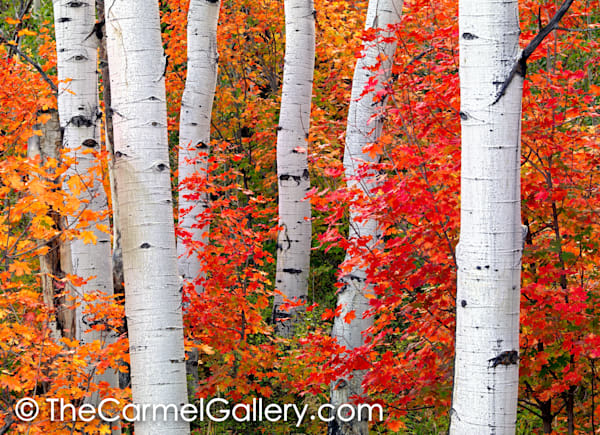 Aspens & Maples