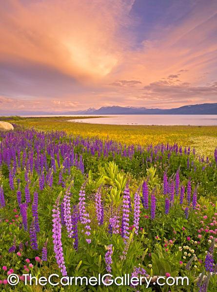 Wildflower Sunset, Lake Tahoe