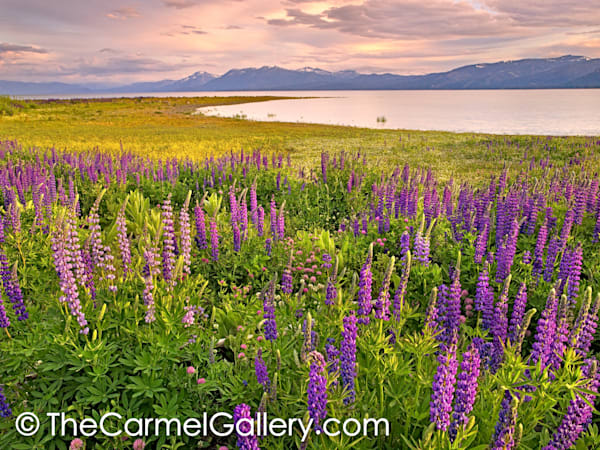 Lupine Field at Sunset