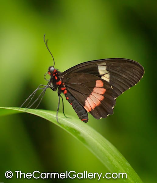Rainforest Butterfly Art | The Carmel Gallery
