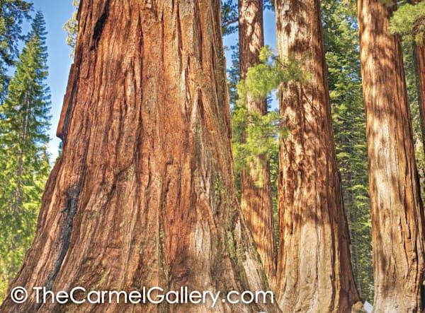 Sequoia Grove, Yosemite