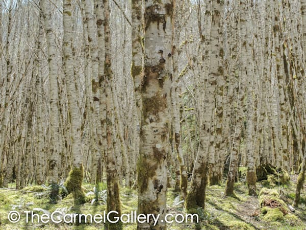 Forest Illusion