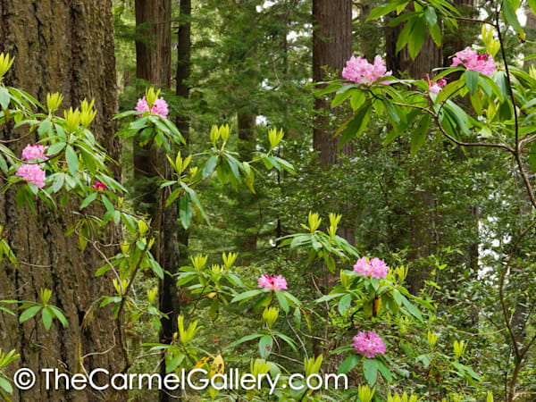 Redwood & Rhododendron II