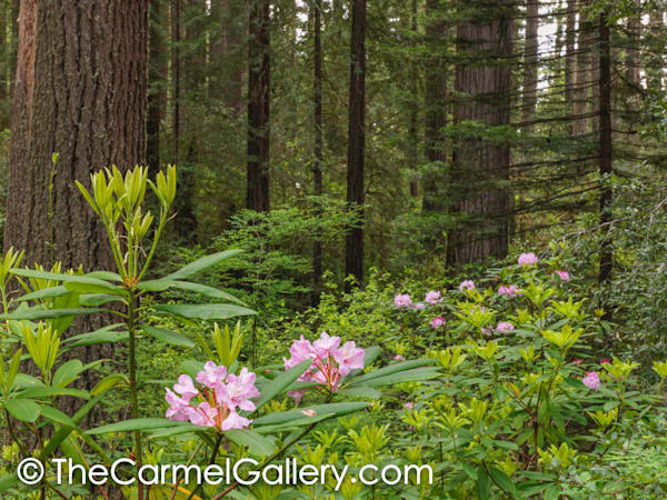 Redwood & Rhododendron I