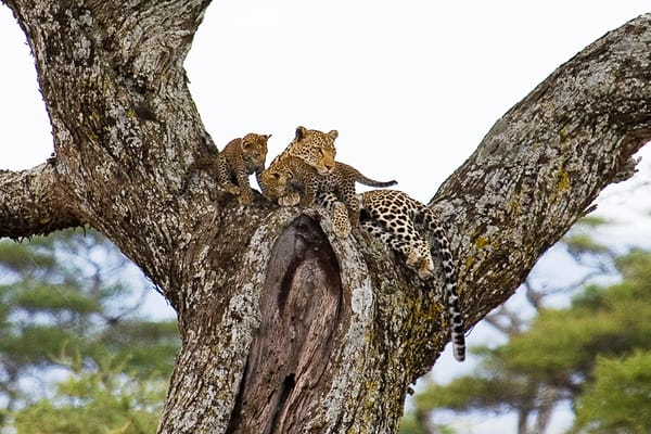 9344-Leopard-and-cubs