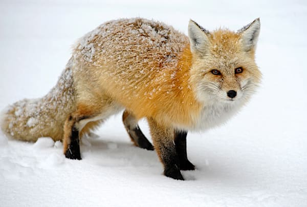 Snow Covered Red Fox Art | Fine Art New Mexico