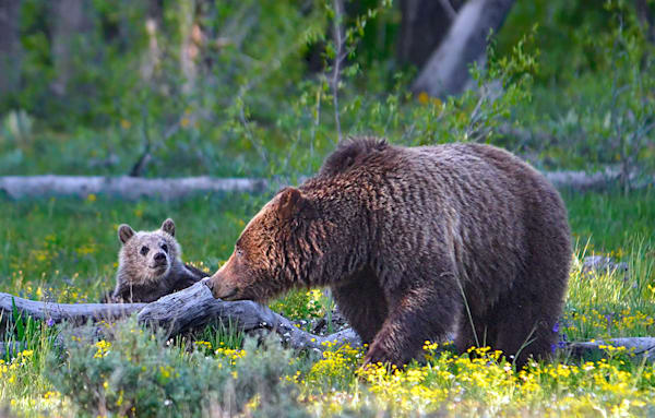 Grizzly Sow and Cub