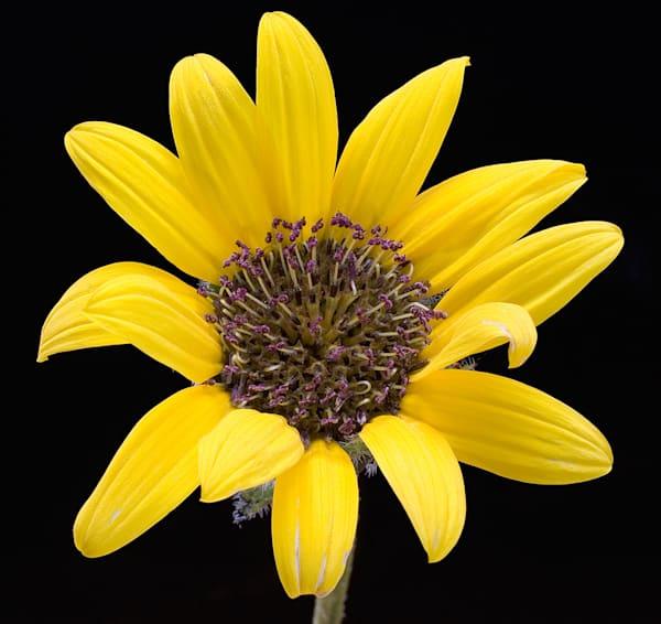 Helianthus Blossom