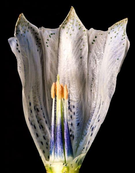 Gentiana Algida Blossom Interior