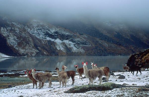 Llamas In Snow