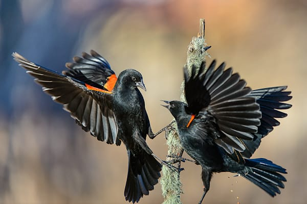 Red Winged Blackbirds Fighting
