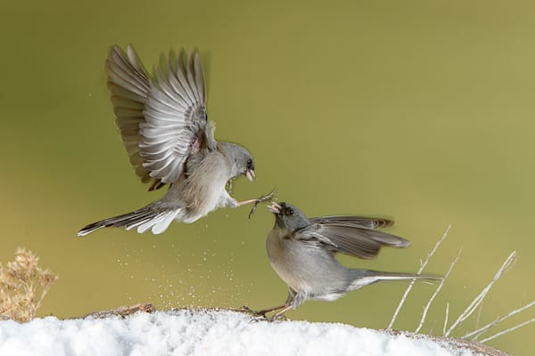 Dark Eyed Juncos Fighting 5