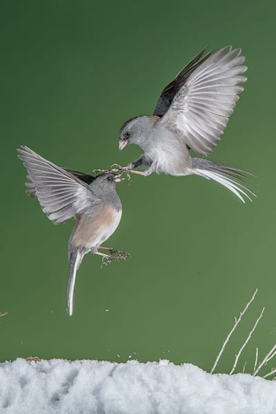 Dark Eyed Juncos Fighting 1