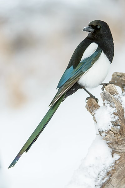 Black Billed Magpie 3