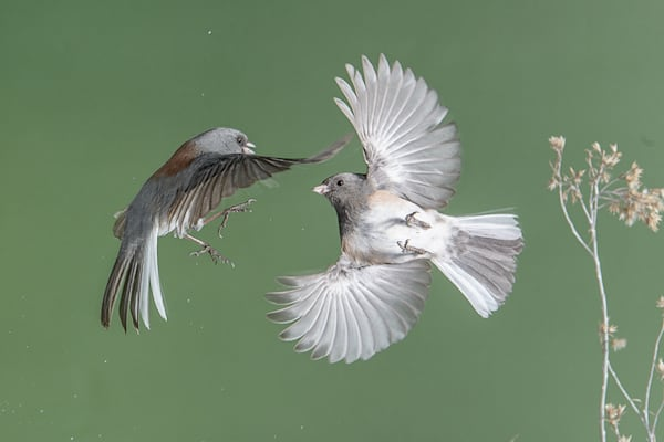 Dark Eyed Juncos Fighting 4