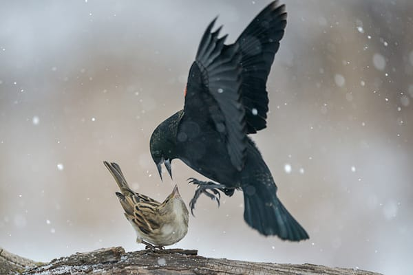 Red Winged Blackbird Attack