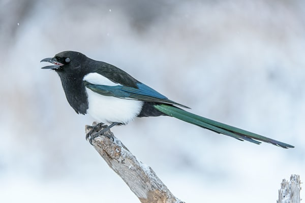 black Billed Magpie 7