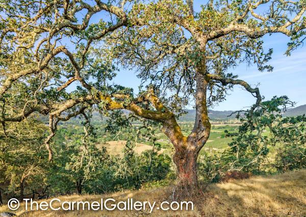 Oat Hill Oak