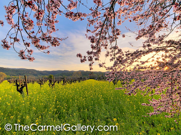 Calistoga Blossoms