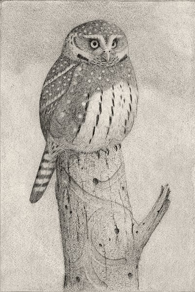 Pigmy Owl Art by fineart-new mexico