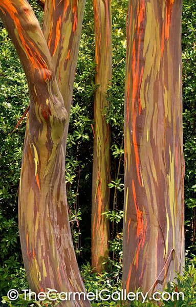Rainbow Eucalyptus II, Maui