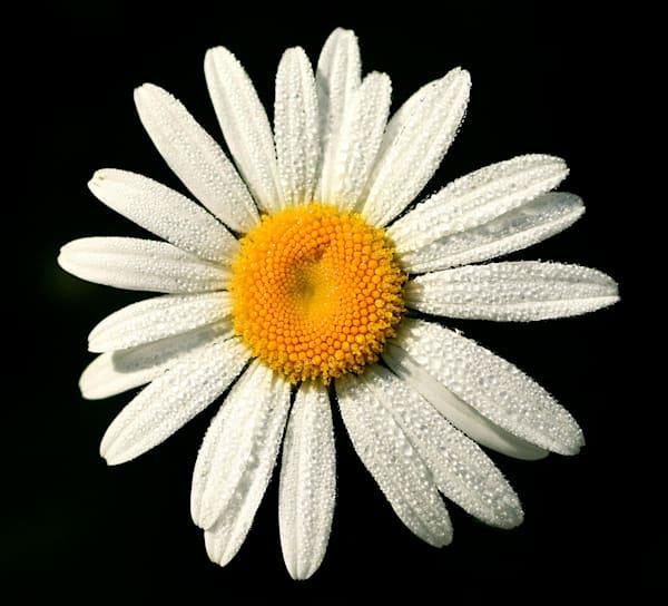 Daisy Art | Fine Art New Mexico