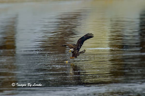 Eagle On The Prowl