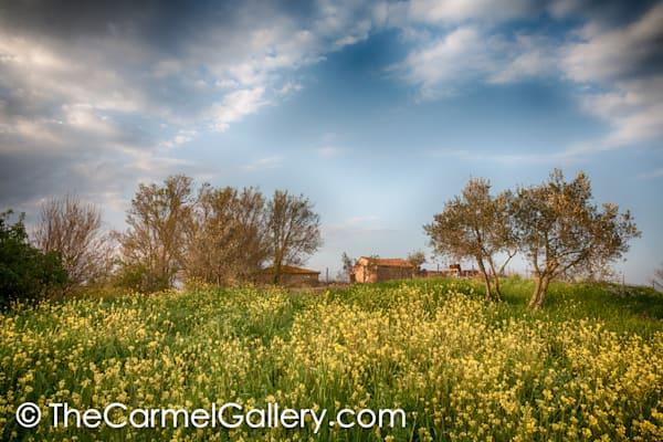 Mustard and Olives Tuscany