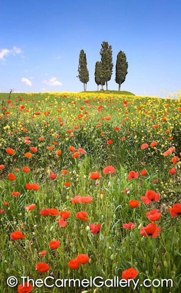 Red Poppies Tuscany