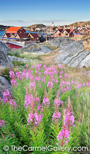 West Coast Fireweed
