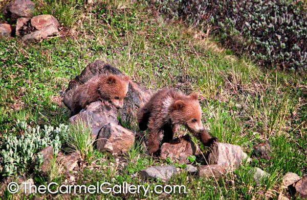 Bear Cub Wanderers