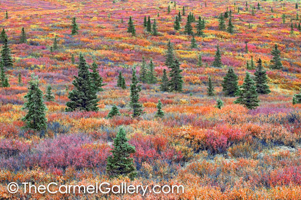 Black Spruce Autumn Tundra