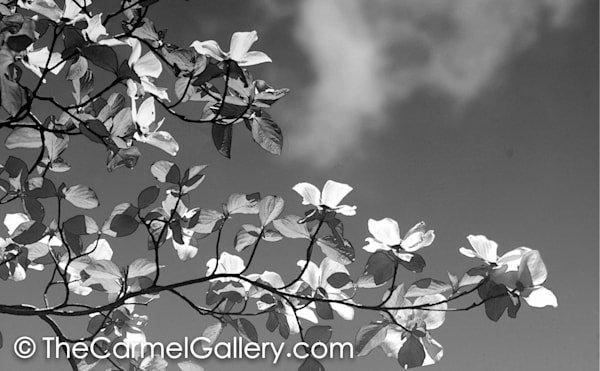 Dogwood Blossoms BW