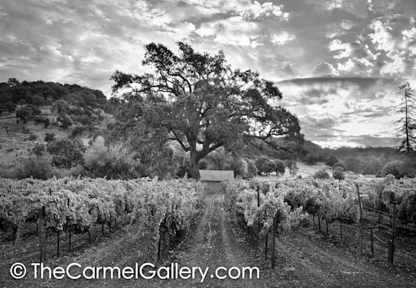 Golden Morning Wine Country BW