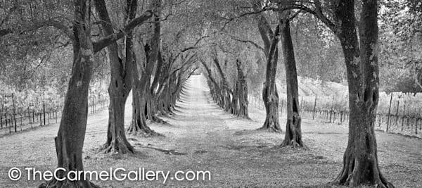 Olive Grove Path BW