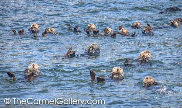 Sea Otter Swim