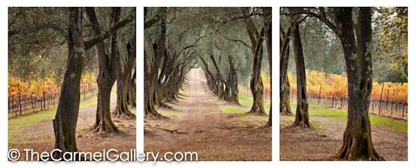 The Olive Grove Path ALL