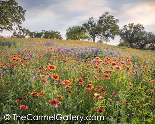 Wildflowers, Texas Hill Country
