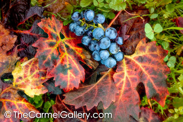 Autumn Vines and Grapes