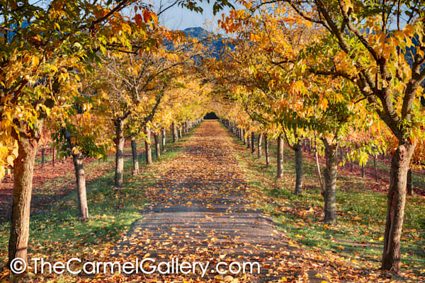 Vineyard Path Calistoga