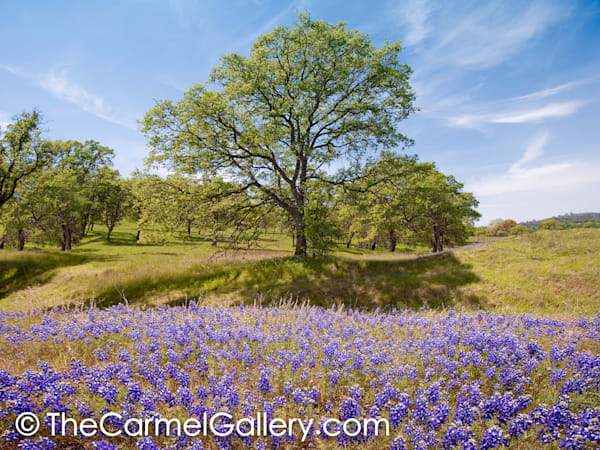 Spring Oaks and Lupine