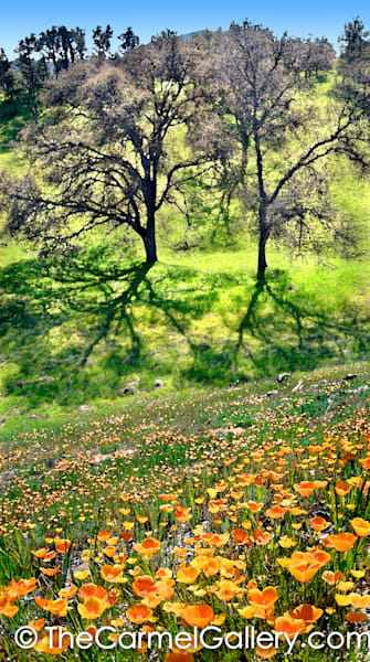 Spring Oaks and Poppies