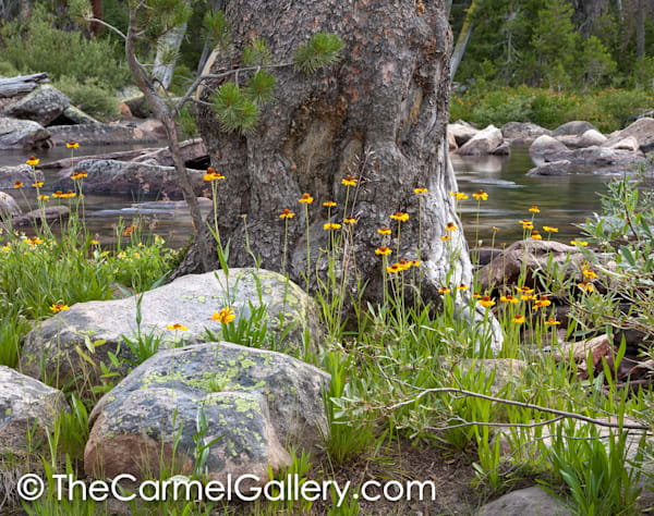 Old Lodgepole and Black Eyed Susans