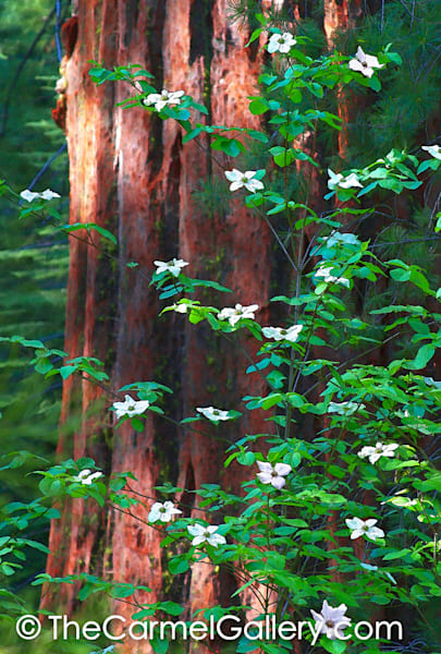 Spring Morning Redwood Grove