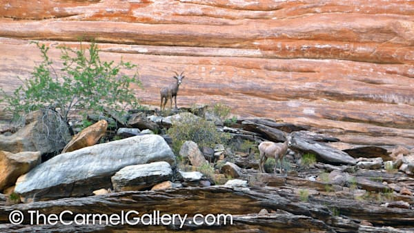 Grand Canyon Bighorn