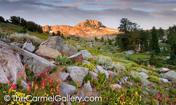 Wild Bloom Carson Pass