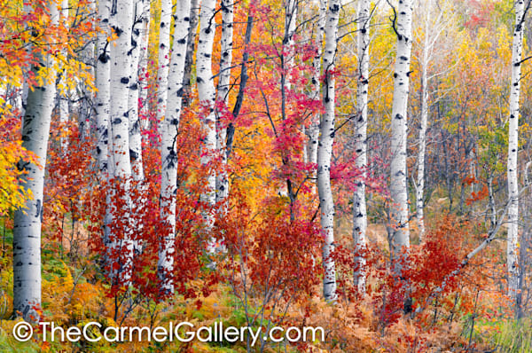 Mountain Aspen Grove