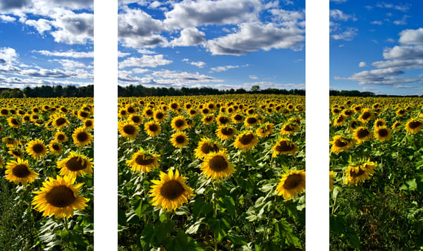 Simply Sunflowers captured in Minnesota