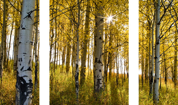 Aspen Aglow captured in the Tetons