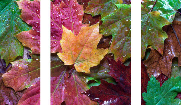 Moods of Maple III (triptych)